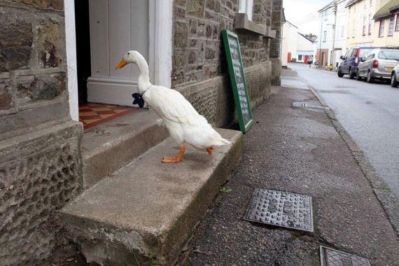 booziest_duck