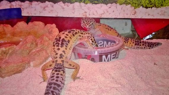 gecko_pregnancy