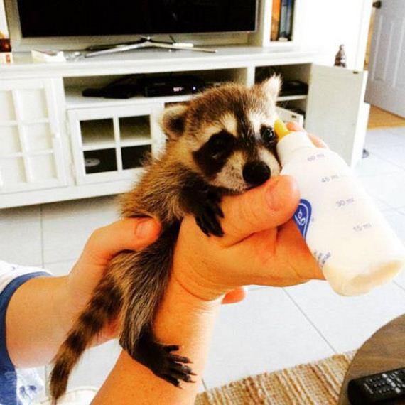 the_baby_raccoon