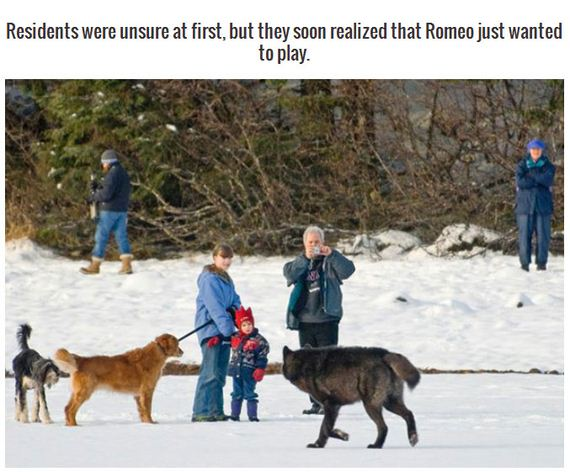 wolf_meets_a_labrador
