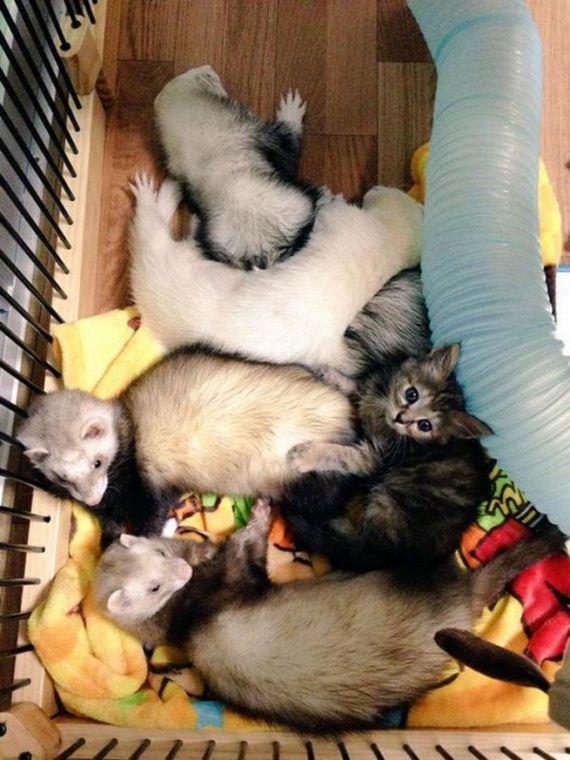 ferrets_kitty
