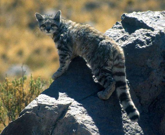wild_cat