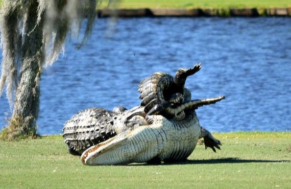 florida_alligators_forced