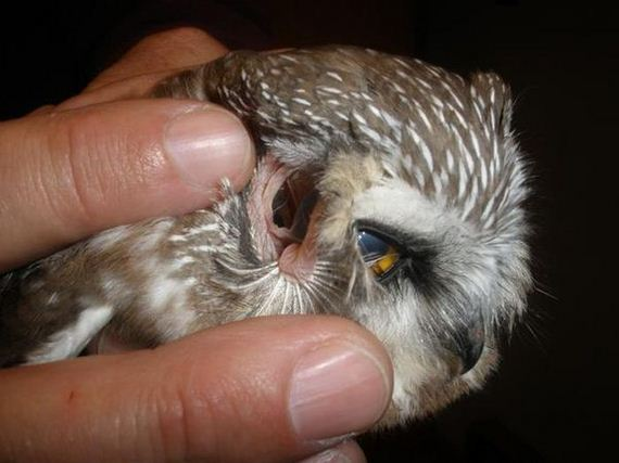 owl_ears