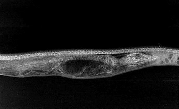 python_crocodile