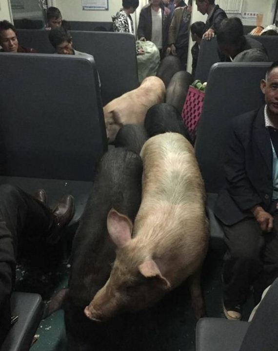 Pigs-Ride-Trains
