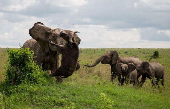 elephant_buffalo