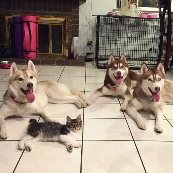 huskies-rescue-kitten-cat