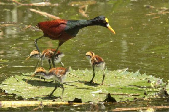 jacana_bird