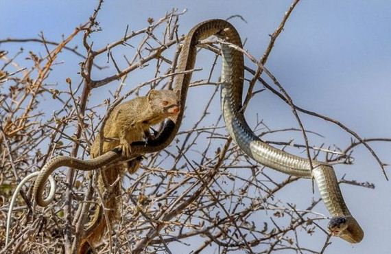 mongoose_and_snake