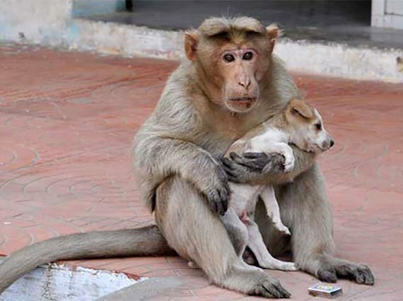 monkey-adopts-puppy