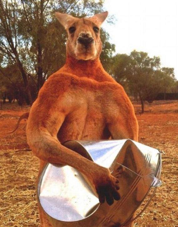 musclebound_kangaroo