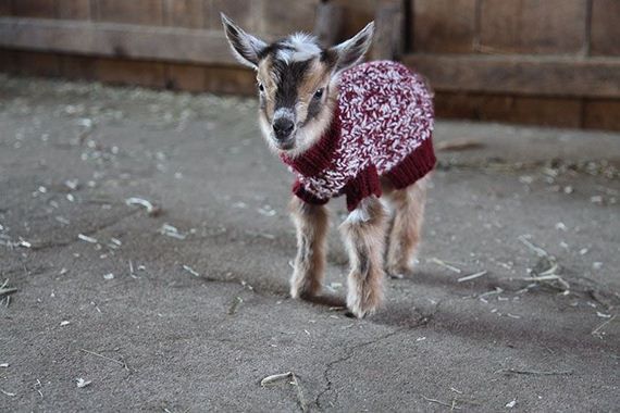 baby_goats