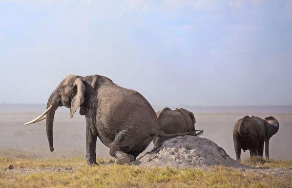 elephant_rubs