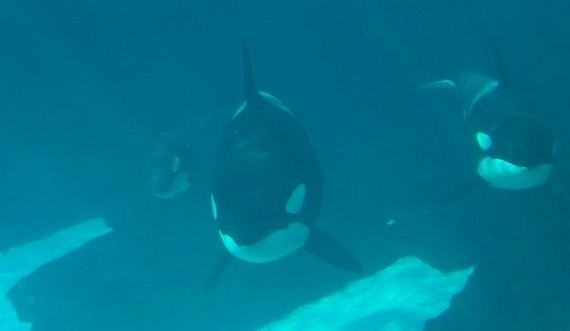 killer-whales-are-pretty-insane