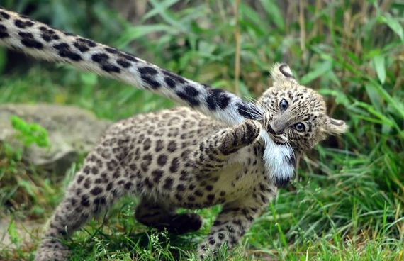 leopards_biting_tail