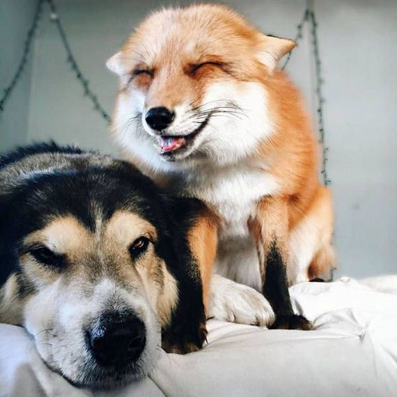 pet_fox_and_a_dog