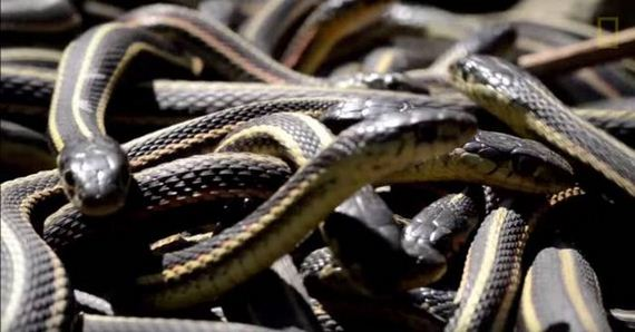 this_large_gathering_of_snakes
