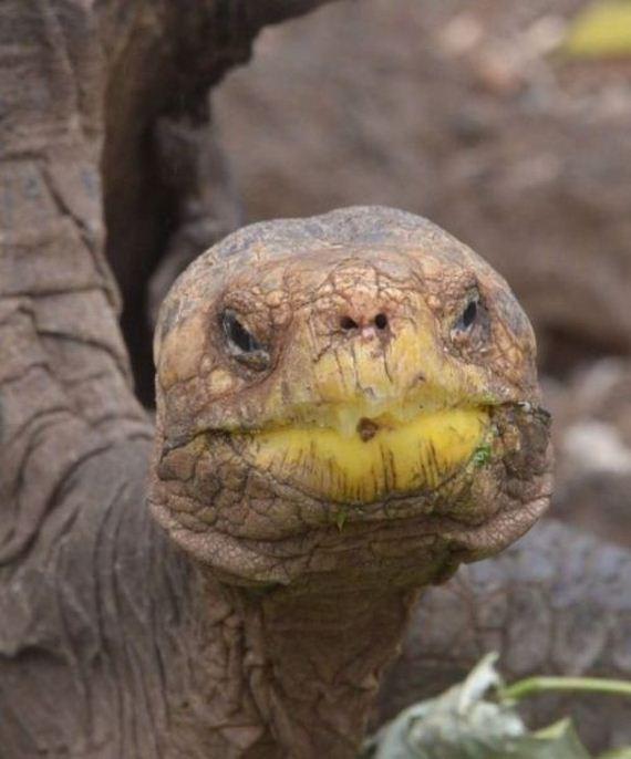 giant_tortoise