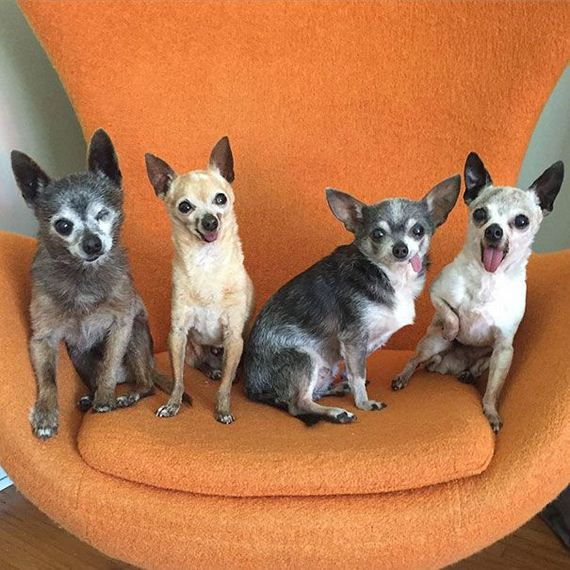 old_chihuahuas