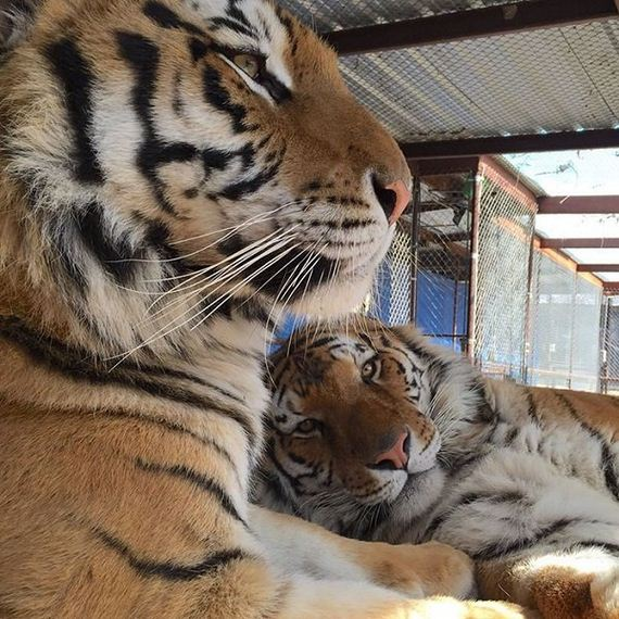 rescue-tiger-recovery-circus-aasha