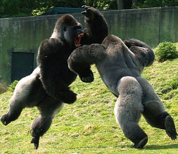 gorilla.jpg
