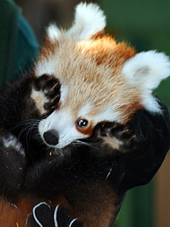 Cute Red Baby Pandas Page 2 Of 2 Barnorama