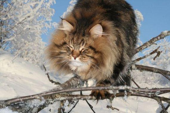 Siberian Cat Amur Ezra Barnorama