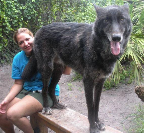 Gray Wolf Pets Pet Wolf Yuki Barnorama