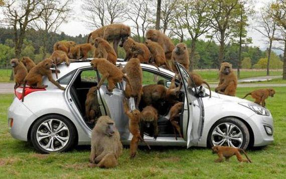 05-baboons-vs-tourists