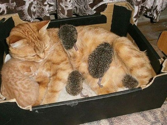 10-new-mom-for-baby-hedgehogs