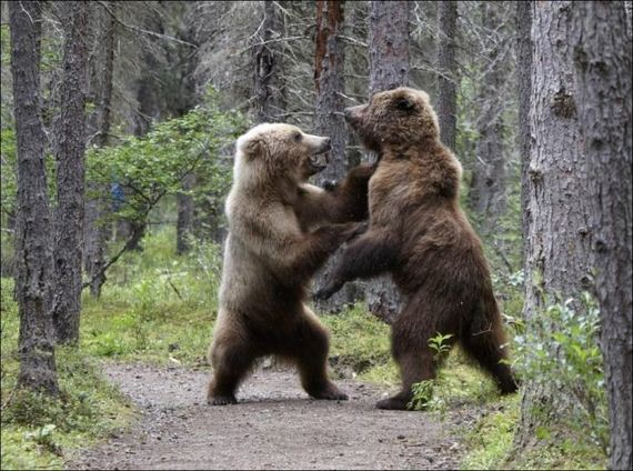 01-fighting-bears