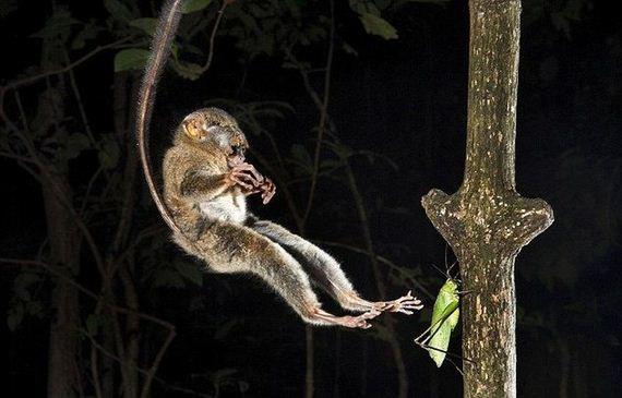 02-hunting-tarsier