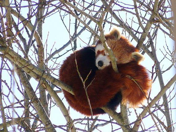 06-red-pandas-taking-advantage
