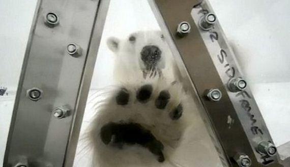 05-spectacular-polar-bear-attack