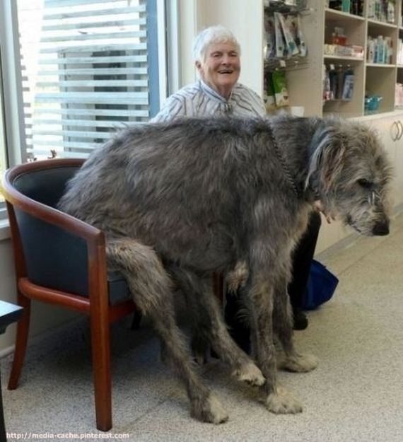 06-Dogs Who Don't Realize How Big They