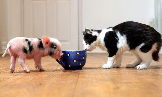 02-Pictures-eacup-Pigs