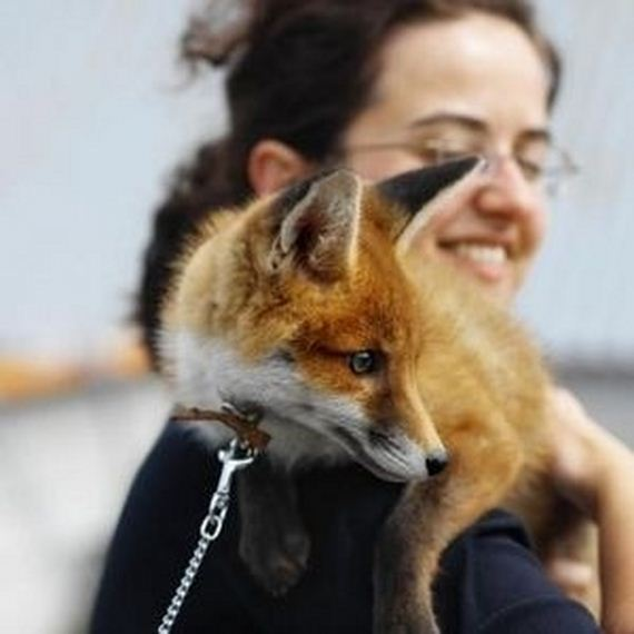 Foxes And The People Who Keep Them As Pets - Barnorama