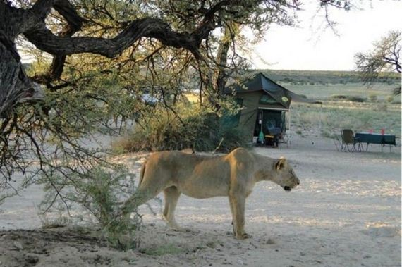06-lions_safari