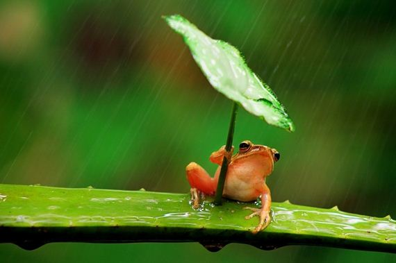 02-Frog-Using-Leaf-As-An-Umbrella