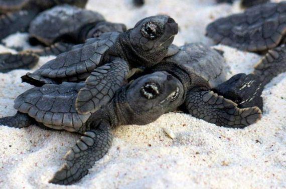 02-baby_turtles_to_sea