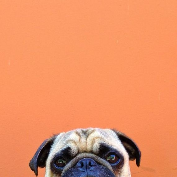 06-meet_norm_the_photogenic_pug