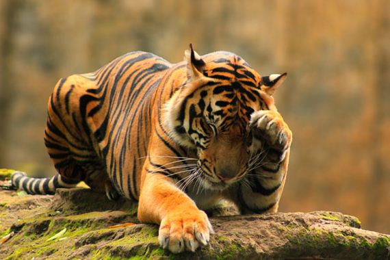 03-Tiger-First-image