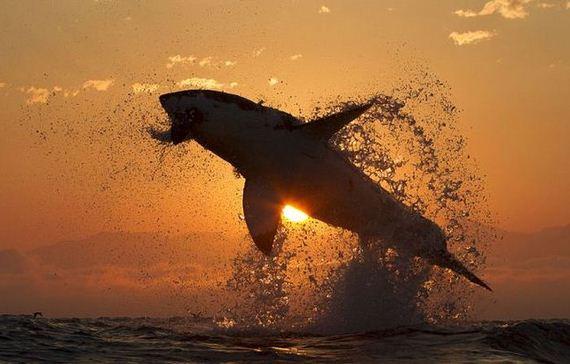 03-great_flight_shark