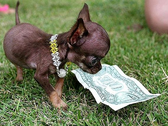 04-chihuahua_milly