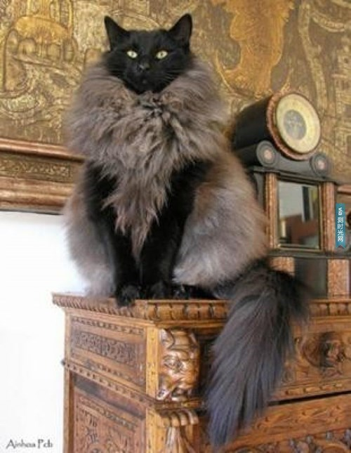 Cat With A Fancy Vest Or Unique Fur Coat Barnorama