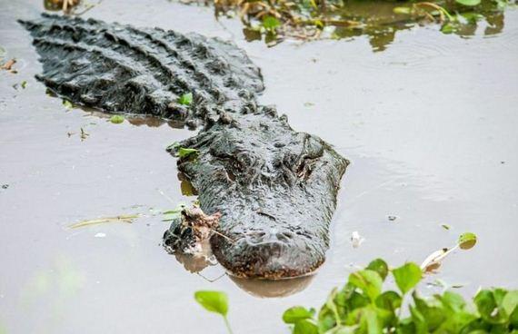 06-alligator_vs_alligator