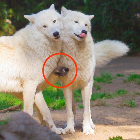Least Majestic Wolves