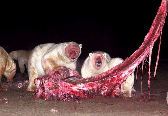 02-bloody_faced_polar_bears