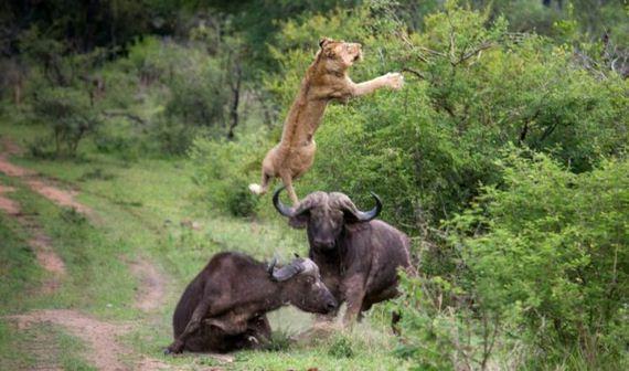 10-lion_and_buffalo